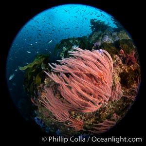 Red gorgonian Leptogorgia chilensis, Farnsworth Banks, Catalina Island, California, Leptogorgia chilensis, Lophogorgia chilensis