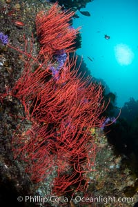 Red gorgonian with polyps retracted, Leptogorgia chilensis, Farnsworth Banks, Catalina Island, California, Leptogorgia chilensis, Lophogorgia chilensis