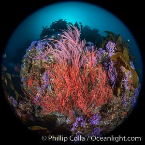 Red gorgonian Leptogorgia chilensis. The lower sea fan has its polyps retracted while the upper sea fan has all of its polyps extended into the current. Farnsworth Banks, Catalina Island, California, Leptogorgia chilensis, Lophogorgia chilensis