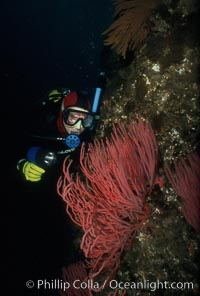 Diver and red gorgonian. San Clemente Island, California, USA, Lophogorgia chilensis, natural history stock photograph, photo id 01109