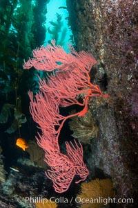 Red gorgonian on rocky reef, below kelp forest, underwater. The red gorgonian is a filter-feeding temperate colonial species that lives on the rocky bottom at depths between 50 to 200 feet deep. Gorgonians are oriented at right angles to prevailing water currents to capture plankton drifting by., Leptogorgia chilensis, Lophogorgia chilensis, Catalina Island