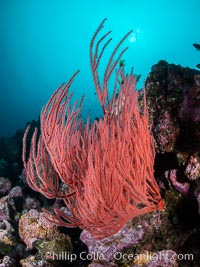 Red gorgonian on rocky reef, below kelp forest, underwater. The red gorgonian is a filter-feeding temperate colonial species that lives on the rocky bottom at depths between 50 to 200 feet deep. Gorgonians are oriented at right angles to prevailing water currents to capture plankton drifting by, Santa Barbara Island
