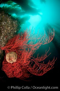 Bryozoan grows on a red gorgonian on rocky reef, below kelp forest, underwater.  The red gorgonian is a filter-feeding temperate colonial species that lives on the rocky bottom at depths between 50 to 200 feet deep. Gorgonians are oriented at right angles to prevailing water currents to capture plankton drifting by, Lophogorgia chilensis, San Clemente Island