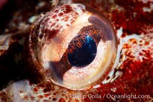 Red Irish Lord eye detail, Browning Pass, British Columbia. Canada, Hemilepidotus hemilepidotus, natural history stock photograph, photo id 35269