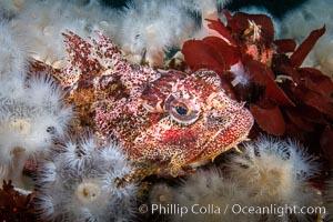 Red Irish Lord sculpinfish, Browning Pass, British Columbia. British Columbia, Canada, Hemilepidotus hemilepidotus, natural history stock photograph, photo id 35327