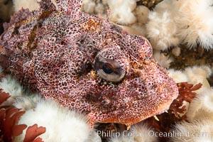 Red Irish Lord sculpinfish, Browning Pass, British Columbia. Canada, Hemilepidotus hemilepidotus, natural history stock photograph, photo id 35386