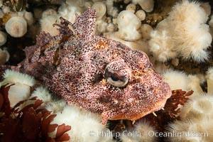 Red Irish Lord sculpinfish, Browning Pass, British Columbia. British Columbia, Canada, Hemilepidotus hemilepidotus, natural history stock photograph, photo id 35531