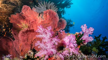 Red-orange Gorgonian Sea Fans and Pink Dendronephthya Soft Corals, Fiji, Dendronephthya, Gorgonacea, Plexauridae, Vatu I Ra Passage, Bligh Waters, Viti Levu  Island
