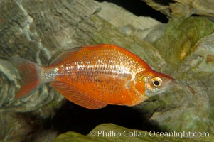 Red rainbowfish, Glossolepis incisus
