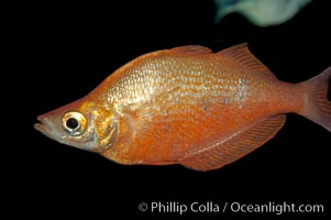 Image 09288, Red rainbowfish., Glossolepis incisus