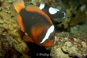 Red Saddleback Anemonefish, juvenile with white bar., Amphiprion ephippium, natural history stock photograph, photo id 11036