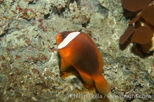 Red Saddleback Anemonefish, juvenile with white bar, Amphiprion ephippium