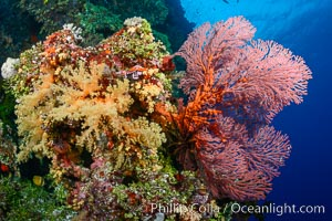 Red Sea Fan Gorgonians and Yellow Dendronephthya Soft Corals, Fiji, Dendronephthya, Gorgonacea, Plexauridae