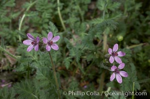 Red-stem filaree blooms in spring, Batiquitos Lagoon, Carlsbad, Erodium cicutarium