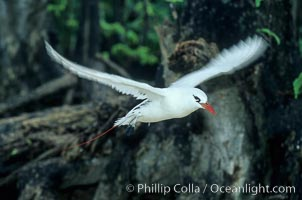 Image 00849, Red tailed tropic bird. Rose Atoll National Wildlife Sanctuary, American Samoa, USA, Phaethon rubricauda