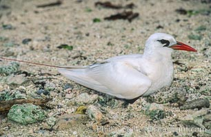 Red-tailed tropicbird, Rose Atoll National Wildlife Refuge, Phaethon rubricauda, Rose Atoll National Wildlife Sanctuary