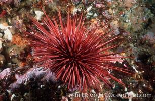 Red urchin on rocky California reef. USA, Strogylocentrotus franciscanus, natural history stock photograph, photo id 03802