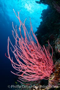 Red whip coral, Ellisella ceratophyta, Fiji. Namena Marine Reserve, Namena Island, Fiji, Ellisella ceratophyta, natural history stock photograph, photo id 34748