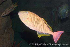 Redtail trigger fish, Revilligigedos., Xanthichthys mento, natural history stock photograph, photo id 07912