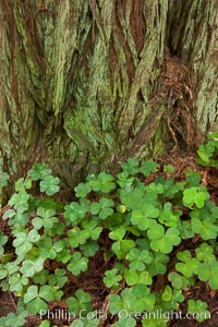 Clover covers shaded ground below coast redwoods in Redwood National Park