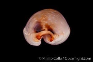 Reents' Cowrie, Cypraea gangranosa reentsii