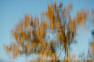 Reflection of a burnt-orange, turning oak tree in autumn, Bosque del Apache National Wildlife Refuge, Socorro, New Mexico