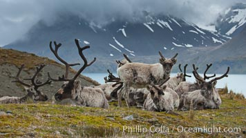 Reindeer on South Georgia Island.  Reindeer (known as caribou when wild) were introduced to South Georgia Island by Norway in the early 20th Century.  There are now two distinct herds which are permanently separated by glaciers. Fortuna Bay, Rangifer tarandus, natural history stock photograph, photo id 24592