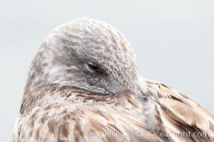 Resting Gull Portrait, La Jolla