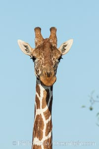 Reticulated giraffe, Meru National Park. Meru National Park, Kenya, Giraffa camelopardalis reticulata, natural history stock photograph, photo id 29653
