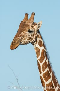 Reticulated giraffe, Meru National Park. Meru National Park, Kenya, Giraffa camelopardalis reticulata, natural history stock photograph, photo id 29655