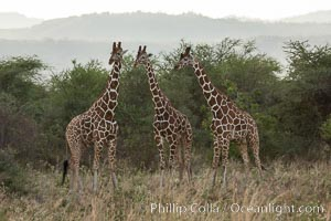 Reticulated giraffe, Meru National Park. Kenya, Giraffa camelopardalis reticulata, natural history stock photograph, photo id 29673