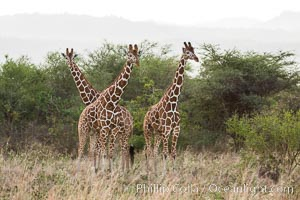 Reticulated giraffe, Meru National Park. Kenya, Giraffa camelopardalis reticulata, natural history stock photograph, photo id 29674