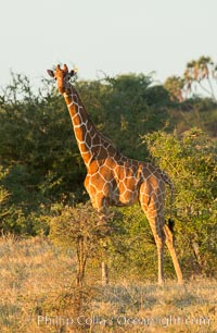 Reticulated giraffe, Meru National Park. Kenya, Giraffa camelopardalis reticulata, natural history stock photograph, photo id 29755