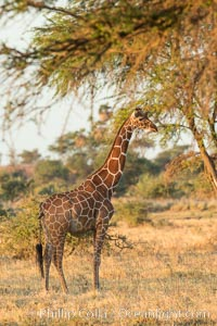 Reticulated giraffe, Meru National Park. Meru National Park, Kenya, Giraffa camelopardalis reticulata, natural history stock photograph, photo id 29756