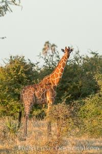 Image 29757, Reticulated giraffe, Meru National Park. Kenya, Giraffa camelopardalis reticulata, Phillip Colla, all rights reserved worldwide.   Keywords: meru national park:africa:animalia:artiodactyla:chordata:giraffa:giraffa camelopardalis:giraffidae:kenya:mammal:mammalia:natural:nature:outdoors:outside:safari:somali giraffe:wild:wildlife:giraffa camelopardalis reticulata.
