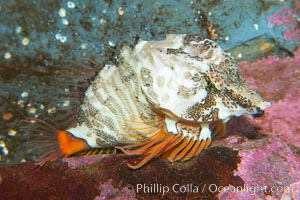 Grunt sculpin.  Grunt sculpin have evolved into its strange shape to fit within a giant barnacle shell perfectly, using the shell to protect its eggs and itself., Rhamphocottus richardsoni, natural history stock photograph, photo id 13728