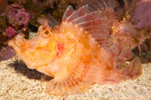 Image 12897, Weedy scorpionfish.  Tropical scorpionfishes are camoflage experts, changing color and apparent texture in order to masquerade as rocks, clumps of algae or detritus., Rhinopias frondossa