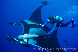 Manta ray and scuba diver. San Benedicto Island (Islas Revillagigedos), Baja California, Mexico, Manta birostris, natural history stock photograph, photo id 02466