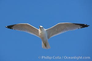 Ring-billed gull in flight, Larus delawarensis, La Jolla, California