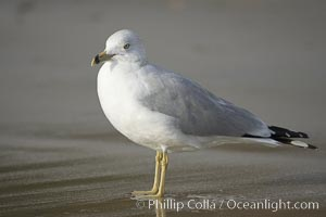 Ring-billed gull, Cardiff. Cardiff by the Sea, California, USA, Larus delawarensis, natural history stock photograph, photo id 18598