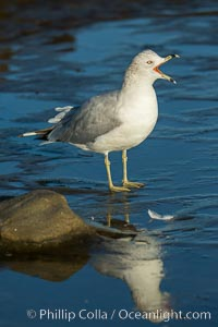 Ring-billed gull. La Jolla, California, USA, Larus delawarensis, natural history stock photograph, photo id 30355