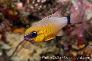 Ring-tailed cardinal fish, Ostorhinchus aureus, Fiji, Ostorhinchus aureus, Namena Marine Reserve, Namena Island