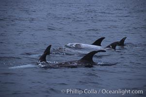 Rissos dolphin, dorsal, Grampus griseus, San Diego, California