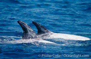 Rissos dolphins surfacing showing dorsal fins. Note distinguishing and highly variable skin and dorsal fin patterns, characteristic of this species. White scarring, likely caused by other Risso dolphins teeth, accumulates during the dolphins life so that adult Rissos dolphins are almost entirely white.  San Diego. San Diego, California, USA, Grampus griseus, natural history stock photograph, photo id 02316