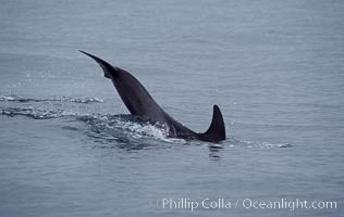A young Rissos dolphin calf performs a tail slap. Note the dark color on this juvenile, it has yet to acquire the white scarring that distinguishes adult Rissos dolphins.  Offshore near San Diego. San Diego, California, USA, Grampus griseus, natural history stock photograph, photo id 07599