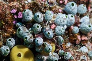 Robust sea squirt, Atriolum robustum, a type of tunicate, Fiji, Makogai Island, Lomaiviti Archipelago