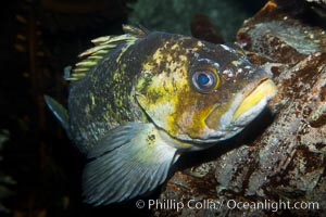 Unidentified rockfish