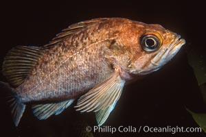 Rockfish. California, USA, natural history stock photograph, photo id 01031