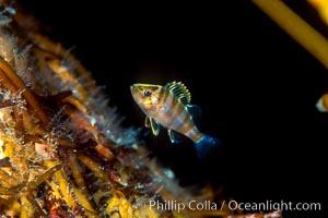 Juvenile rockfish hiding amidst kelp holdfast, offshore drift kelp, open ocean, San Diego, California