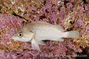 Unidentified rockfish, Santa Barbara Island